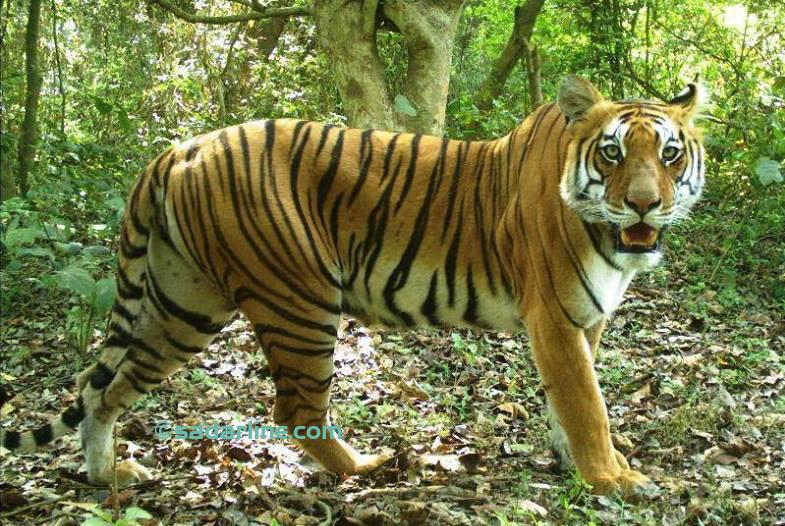 tiger bardiya copy